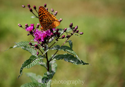 butterfly on purple flower1