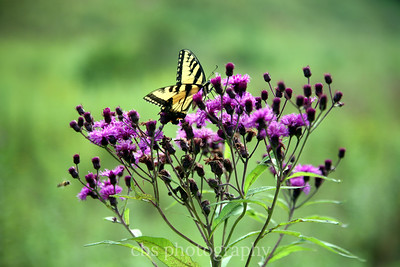butterfly on purple flower2
