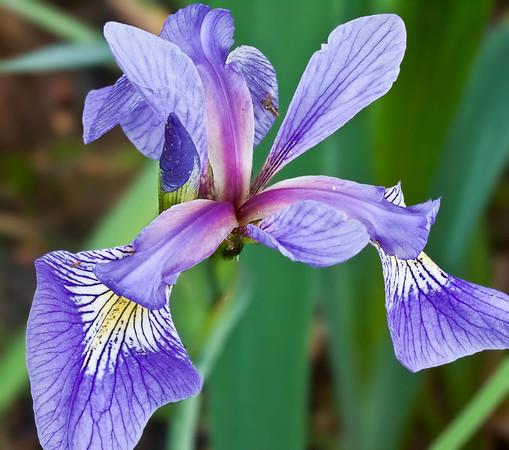 Wild iris, Adirondack wetlands