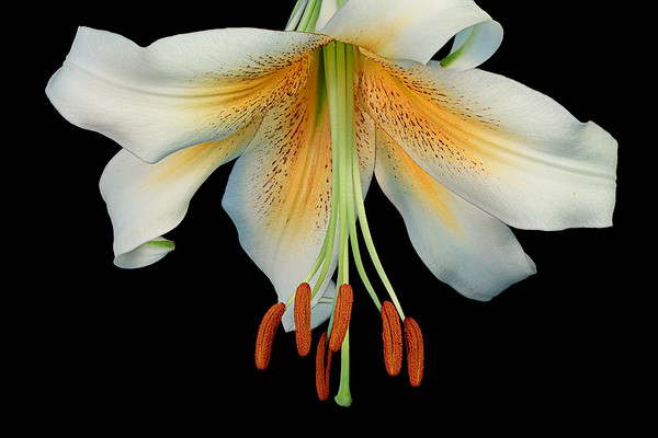 Asiatic lily in full bloom