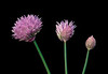 Chive flowers opening