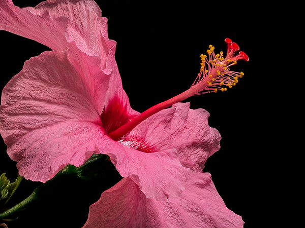 Hibiscus from afar