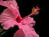 Hibiscus bloom #1