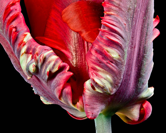Re parrot tulip detail