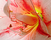 Backlit amarylis