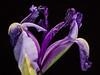 Iris wilting