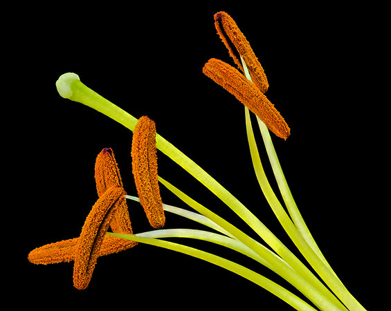 Asiatic lily anthers