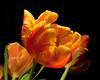 Tulip under halogen