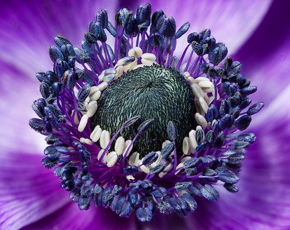 Anemone #1