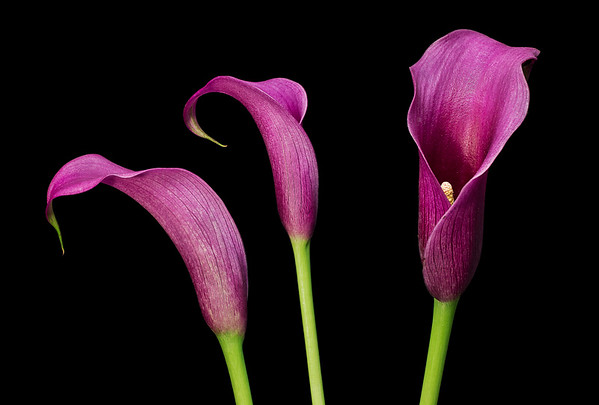 Three callas