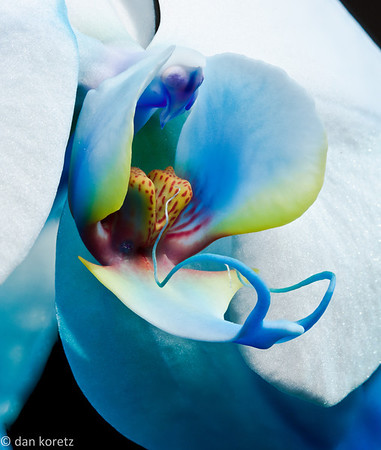 blue orchid, evening light