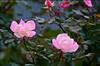 Pink rose 3