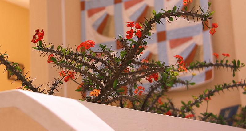Corona de Jesus... Crown of thorns.