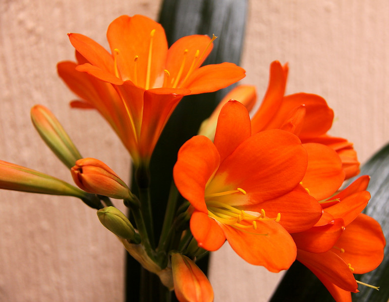 Clivia, standing in the corner of our circular stair way.