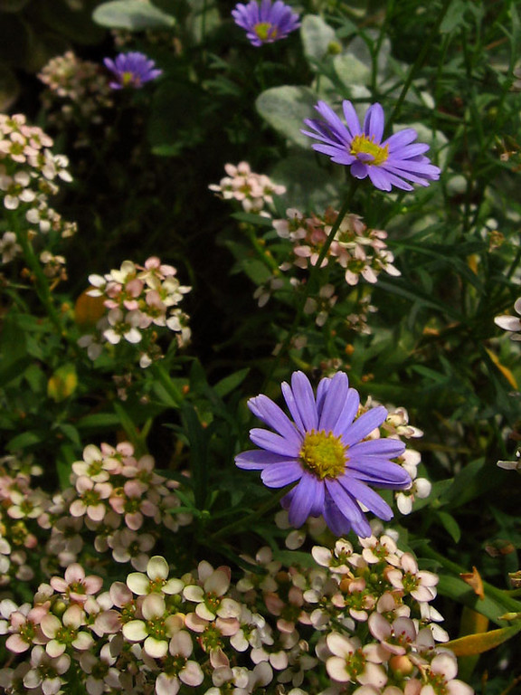 Swan River Daisy and Sweet Alyssum