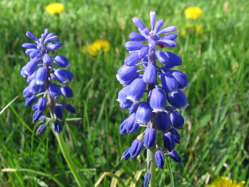 Grape hyacinths...<br /> they are naturalizing in the lawn (the dandelions are naturalizing also).