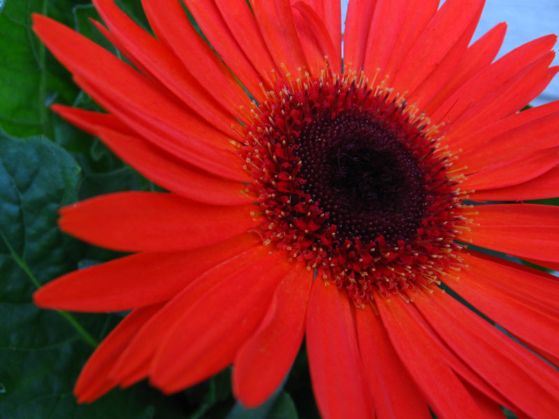 The red gerbera daisy.