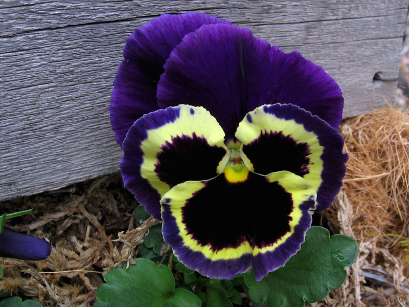 Pansy... the cedar board has weathered to a silver gray.