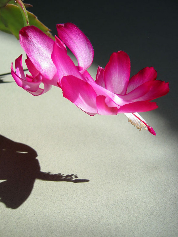 The Christmas cactus we winter over each year.<br /> I liked the shadow from the late afternoon sun.