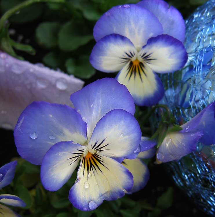 These blue violas are our favorites.<br /> A crackled glass globe reflects their color very nicely.