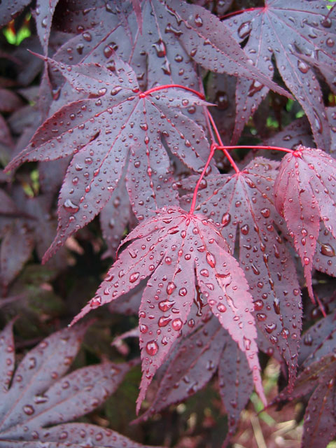 Bloodgood Japanese Maple -<br /> the leaves seem rather leathery to me.<br /> It is a nice tree but, unfortunately suffers from some die back each winter<br /> and therefore hasn't grown much.<br /> The rain drops bead up nicely on it's leaves.