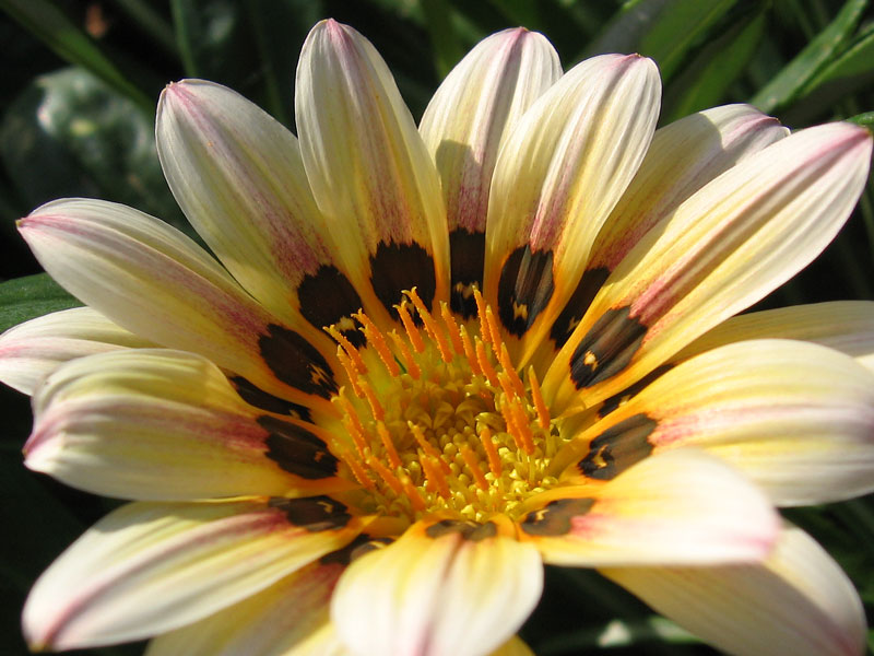 Gazania in late afternoon light.
