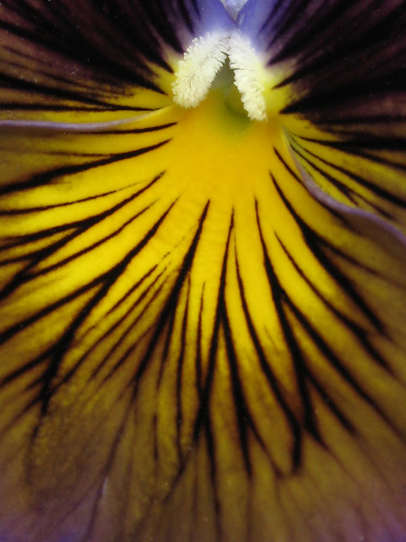 The striped pansy viewed close-up.