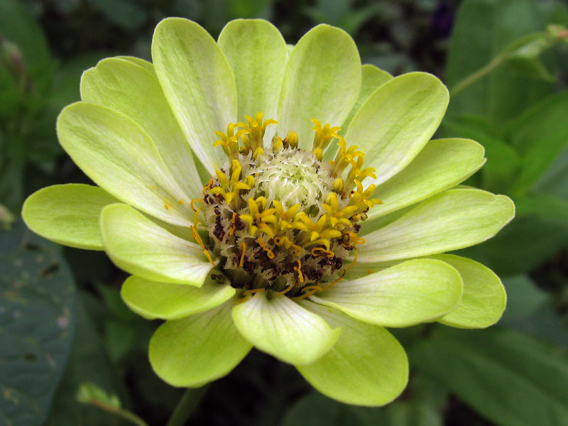 Pale yellow zinnia.