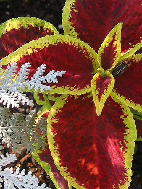 This fine leaved dusty miller and coleus look good growing together.<br /> A lightning bug is on the coleus.