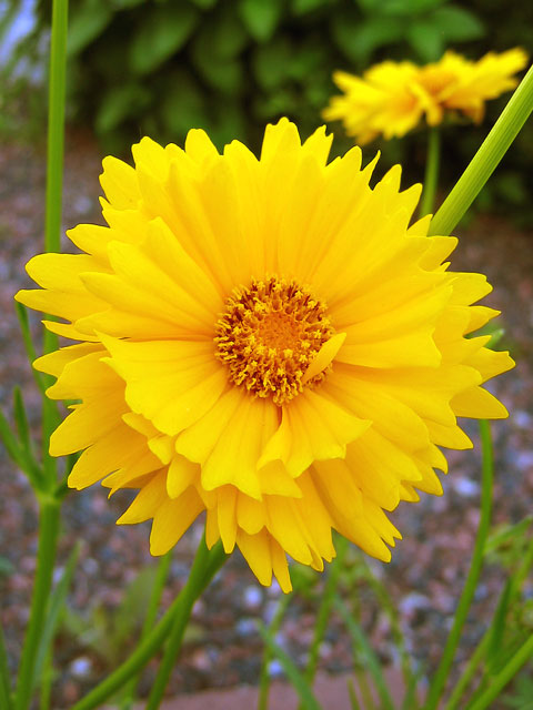 Coreopsis - tickseed<br /> It reseeds freely and will kind of take over, which isn't all that bad as it provides superb yellow color all summer.