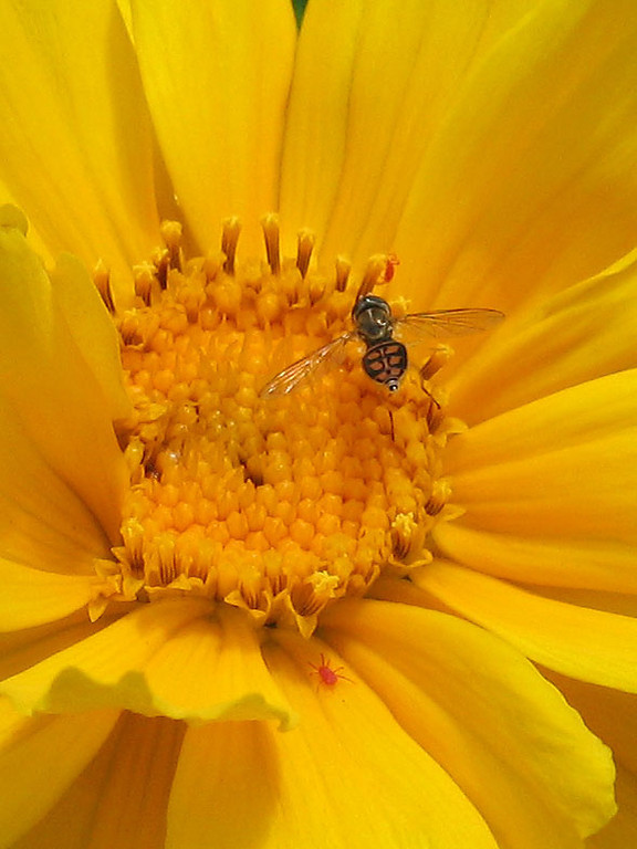 A small bee and red spider mites on coreopsis.