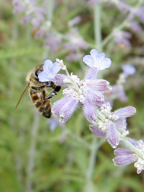 This honeybee is visiting the Russian sage in the backyard.<br /> The aromatic plant attracts all kinds of bees.<br /> I like to crush the leaves in my hands and enjoy their fragrance.
