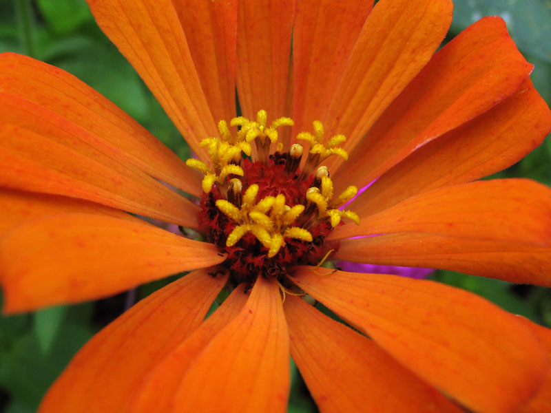 Orange zinnia with golden florets.