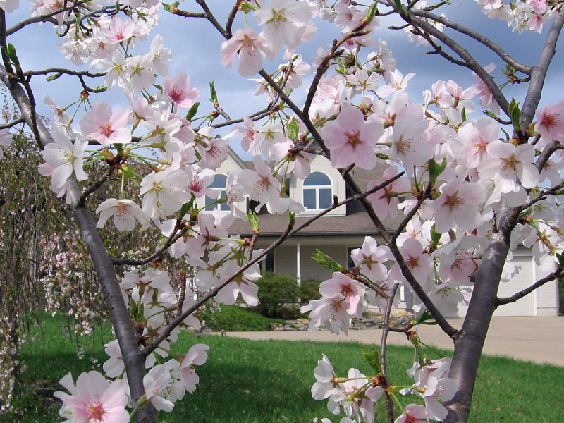 Looking at our house through one of the cherry trees.<br /> It doesn't know if it wants to rain today or be sunny.