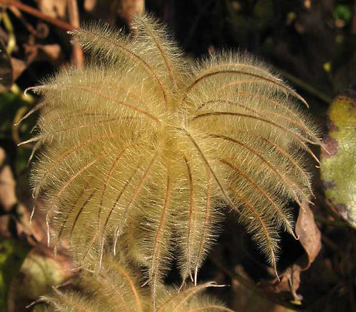 Clematis seed head.