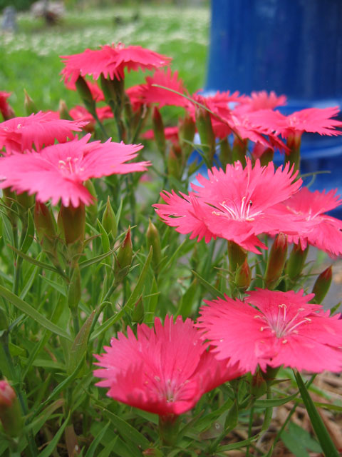 Dianthus - Sweet William or pinks