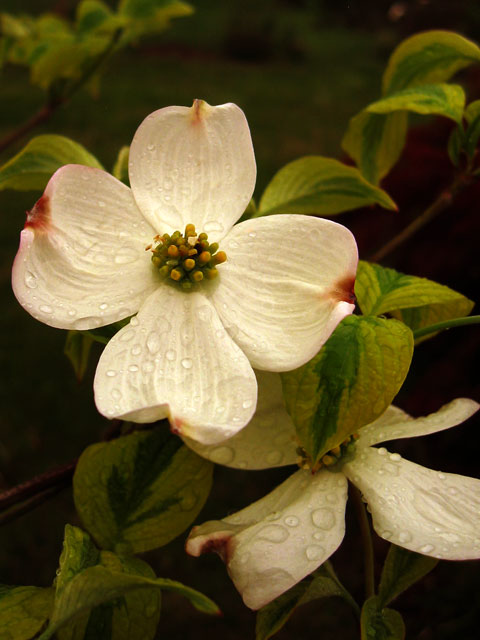 The flowers from the variegated dogwood tree<br /> ...on a cold, rainy and very windy day.