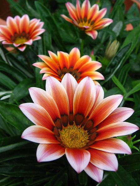 Wonderful gazanias.