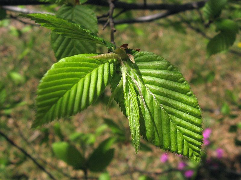 Hornbeam...<br /> the new leaves.