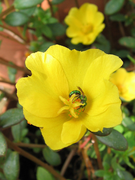A nice bee enjoying the yellow purslane.