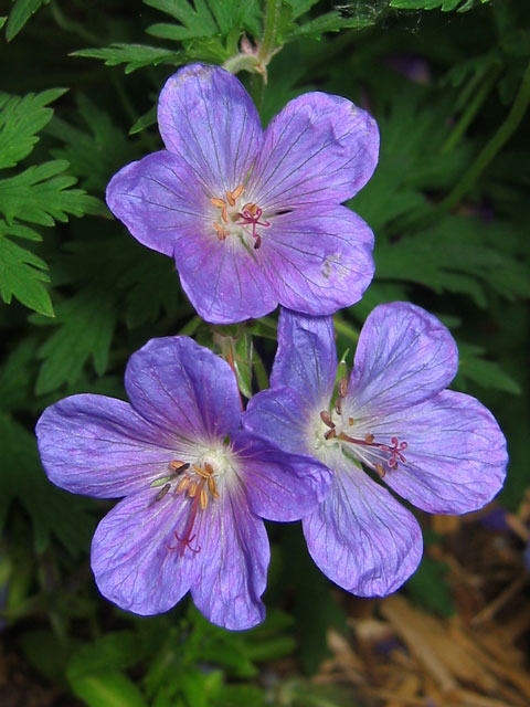 Cranesbill geranium.<br /> An early perfect blue flower for the garden.