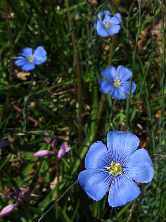 Blue flax.<br /> The small pink flowers are wood hyacinths.