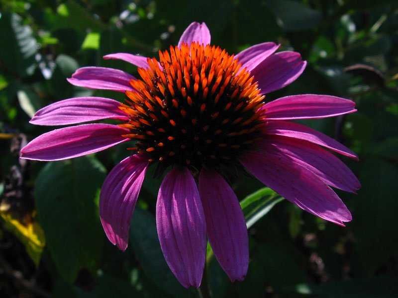 Purple coneflower in the late afternoon sun.<br /> This is one that is growing near the wren birdhouse with the old license plate roof.