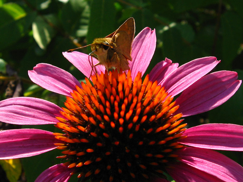 A little skipper landed on the coneflower while I was photographing it.