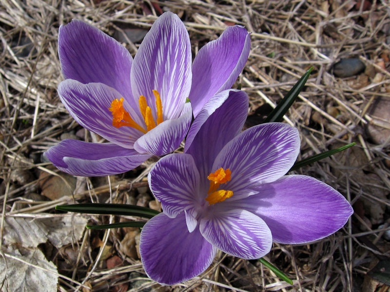 Purple and white crocus.