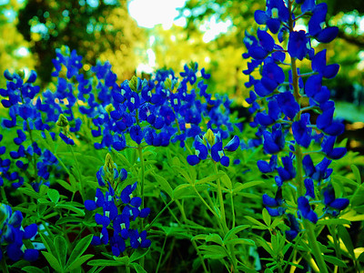 State flower of Texas
