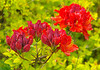 The azaleas are enjoying the wet weather. Glory be, the sun came out briefly on 11 May.<br /> Leica M8 with DDD 85/2 Nikkor.
