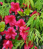 Azaleas making friends with an acer in our front garden - 4 May 2012.