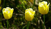 Opportunities for backlit tulips are few and far between at the moment. Sunshine on 11 May!<br /> Leica M8 with DDD 85/2 Nikkor.