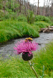 Bee and Thistle on the Black